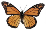 Brown Schmetterling 3D-Modell
